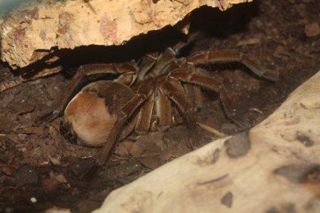 Araña Goliat » ARACNIPEDIA