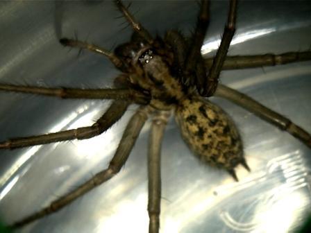 Top 10 de las ara as m s venenosas y peligrosas aracnipedia - Insectos en casa fotos ...